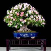 Significado regalo bonsai