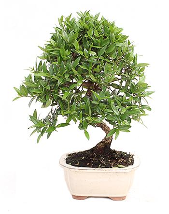 Myrtus sp.